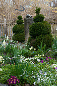 Clipped box bushes and primulas in cottage garden in spring