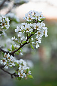 Blühende Apfelbaumzweige