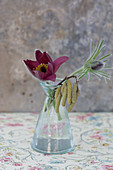 Pasque flower (Pulsatilla vulgaris) and hazel catkins in glass vase