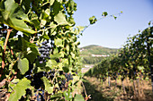 Red wine grapes on a vine, vineyards in Schengen, Luxembourg