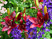 Dark red lily 'Foreigner' with delphinium