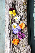 Viola flowers on piece of bark
