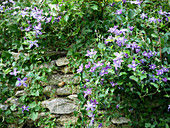 Clematis 'Arabella' on natural stone wall