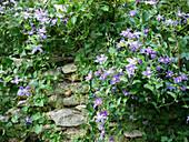 Clematis 'Arabella' an Natursteinmauer