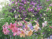 Lilies bloom in front of Clematis 'Etoile Violette'