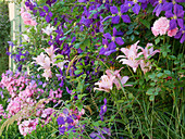 Clematis 'Jackmanii' with lily 'Pigalle' and rose 'Fortuna'