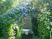 Clematis 'Perle d'Azur' on the rose arch with a view of the seating area