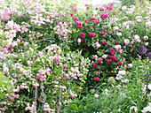 Rose bed with rambler rose 'Frau Eva Schubert', climbing rose 'Laguna' and 'Constance Spry'