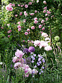 Climbing rose 'Sweet Laguna' with peony, bellflower, and allium 'Ambassador'