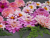 Flowers of pink dahlias and leaves of maidenhair fern