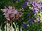 Lily 'Moleto' and Clematis 'Jackmanii'