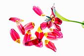 Petals of a red tulip