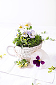 Violas and moss in cup with crocheted ribbon