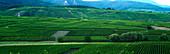 Grüne Weinlandschaft im Elsass (Frankreich)