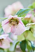 Rosafarbene Blüte der Lenzrose