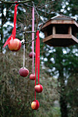 Apples hung from fabric ribbons in garden as food for wild birds