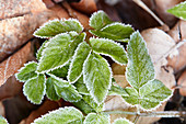 Ground elder leaves covered in hoar frost