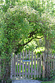 Wooden fence in summery, natural garden