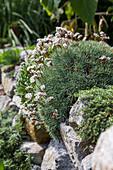 Stechnelke, Igelpolster blühend auf Trockenmauer