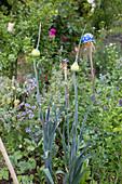 Porree mit Blütenknospen im Beet