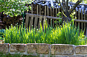 Winterzwiebeln (Allium fistulosum) mit Knospen im Beet