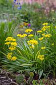 Blühender Goldlauch (Allium moly)