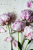 Water droplets on pink peonies