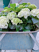 White hydrangeas in a wheelbarrow