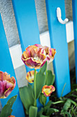 Red and yellow fringed tulips in front of a blue grid