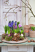 Arrangement of hyacinth and moss kokedamas on wooden board