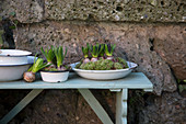 Budding hyacinths and moss in enamel dishes
