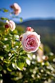 Roses flowering in a garden