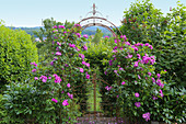Blooming rose gallica 'Officinalis' on rose arch with garden gate