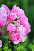 Rose 'Bayernland'
