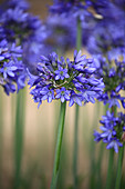 Agapanthus 'Little Blue Fountain'