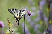 Swallowtail butterfly on Verbena bonariensis flower