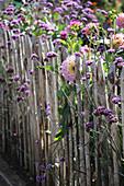 Verbena bonariensis and dahlias growing along garden fence