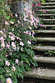 Flowering Japanese anemones next to steps