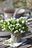 Wood anemone in a pot