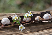 Wood anemone flowers in empty snail shells