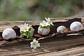 Wood anemone flowers in empty snail shells