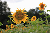 Sunflower with face