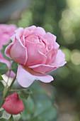 Pink rose and rosebud