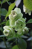 Beetrose 'Lovely Green'