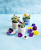 Edible flowers: pansies and voilas