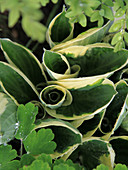 Hosta leaves unfurling