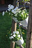 Pots of horned violets hung on a wooden ladder
