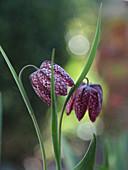 Nahaufnahme von Blüten der Schachbrettblume