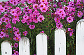 Pink Michaelmas daisies next to garden fence