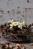 Small bouquet of Christmas rose flowers in a wreath of larch branches with pine cones